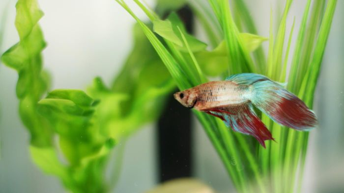 What Are Some Safe Betta Tank Mates?