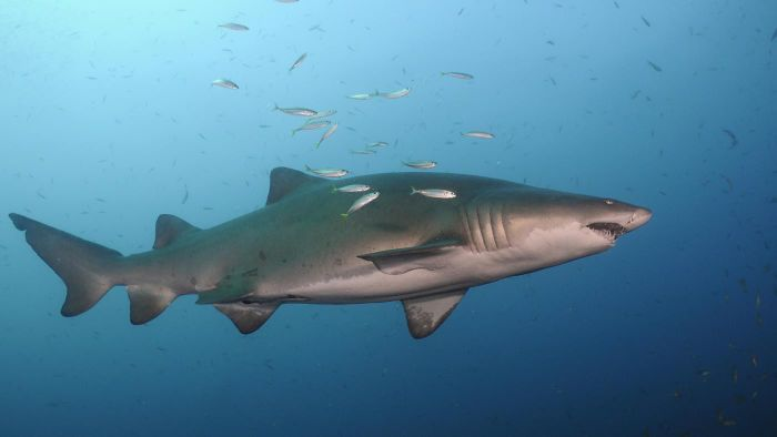 What Are Some Facts About the Sand Tiger Shark?