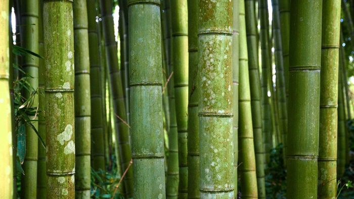 What Is the Scientific Name for Bamboo?