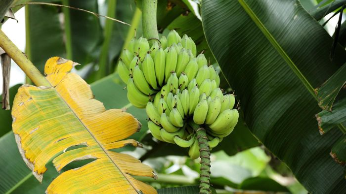 What Is the Scientific Name of a Banana?