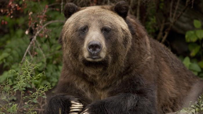What Is the Scientific Name for the Grizzly Bear?
