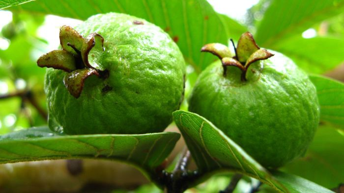 What Is the Scientific Name of Guava?