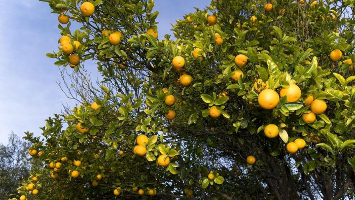What Is the Scientific Name for an Orange?
