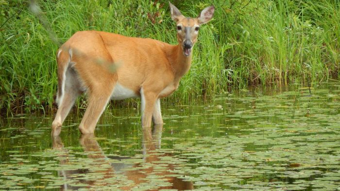 What Is the Scientific Name of the White-Tailed Deer?