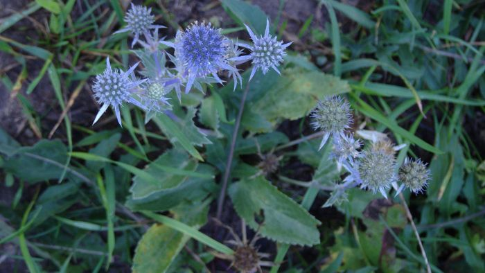 What is sea holly?