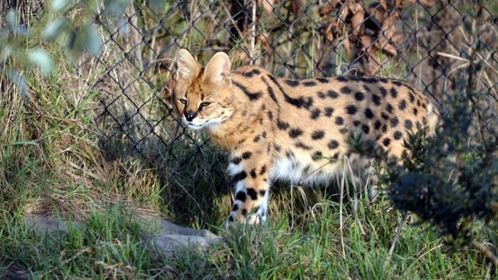 Is the serval cat a good pet?