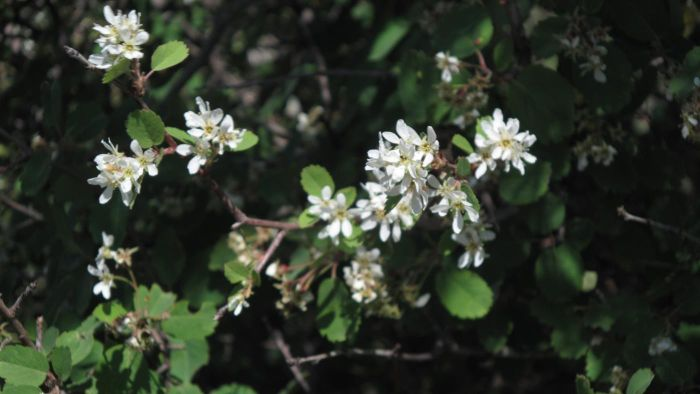 What is a serviceberry bush?