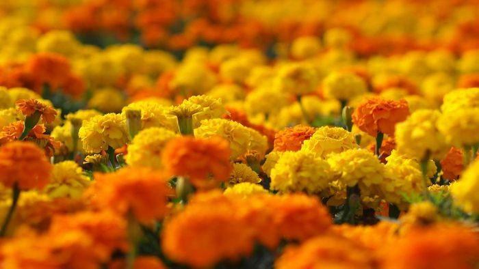 """What Is the Setting for """"Marigolds"""" by Eugenia Collier?"""