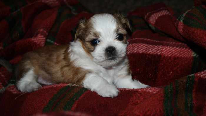 When Should You Offer a Teacup Shih Tzu for Free?