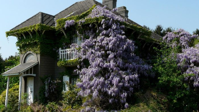 When Should I Plant Wisteria?