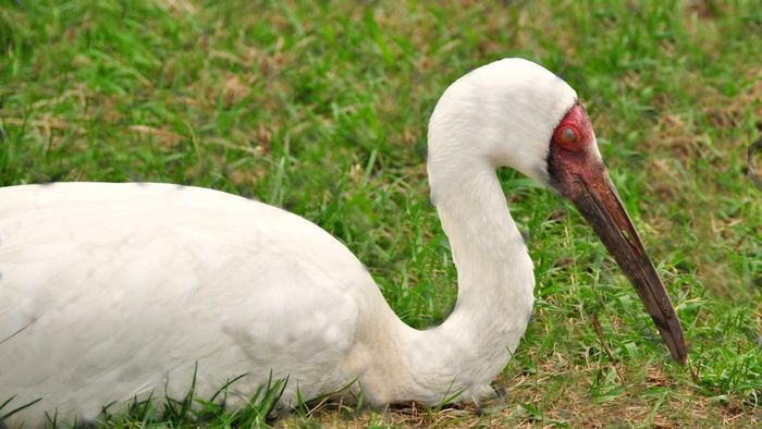 What Is a Siberian Crane?