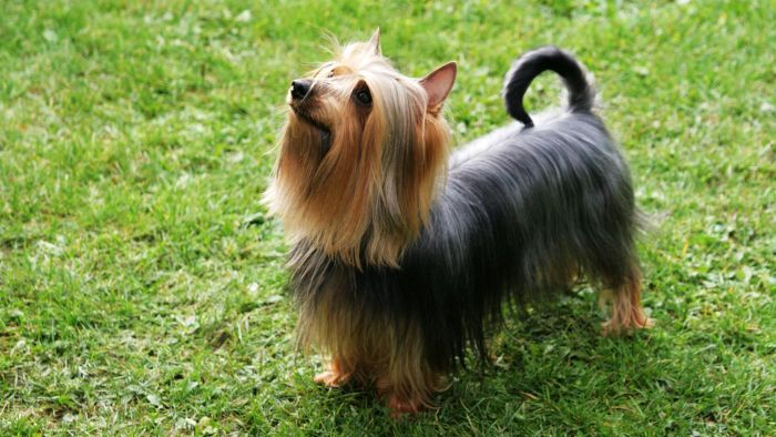 What is a silky terrier?