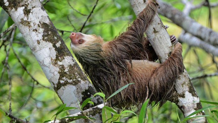 Do Sloths Walk on the Ground?