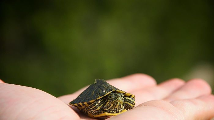 What Is the Smallest Kind of Turtle?