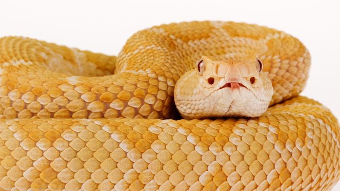 Why are some snakes born albino?