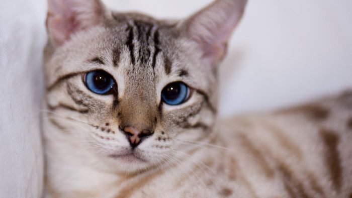 What Is a Snow Bengal?