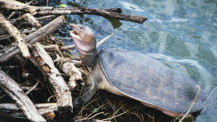 What do soft-shelled turtles eat?