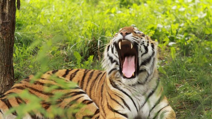 What Sound Does a Tiger Make?