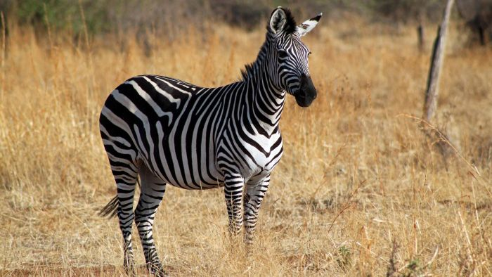 What Sound Does a Zebra Make?