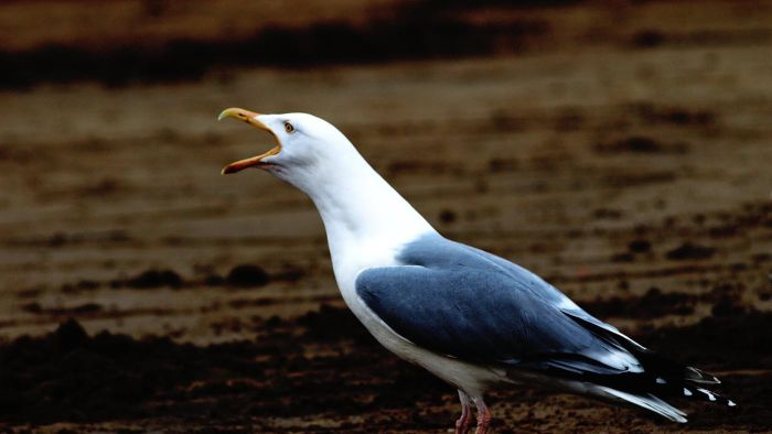 What sounds do seagulls make?
