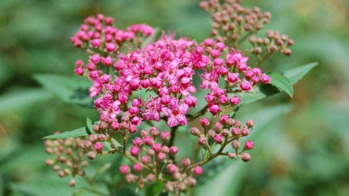 What are spirea shrubs?