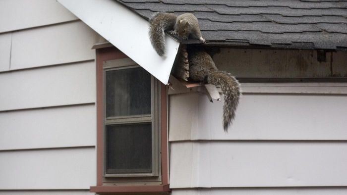 How Do You Get Squirrels Out of an Attic?