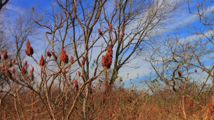 What Is a Staghorn Sumac Tree?