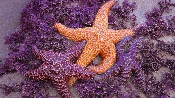 How Do Starfish Mate?