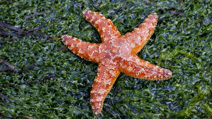 How do starfish move?