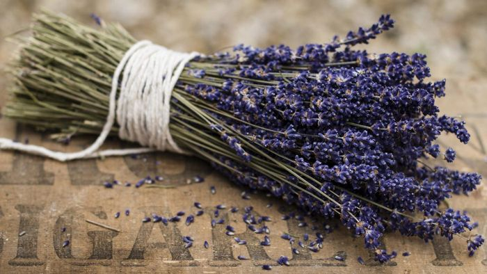 How Do You Start Growing Lavender Indoors?