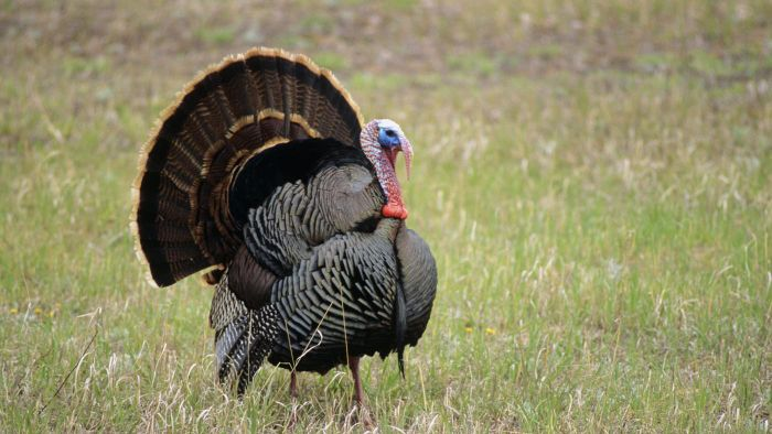 Which State in the United States Raises the Most Turkeys Annually?