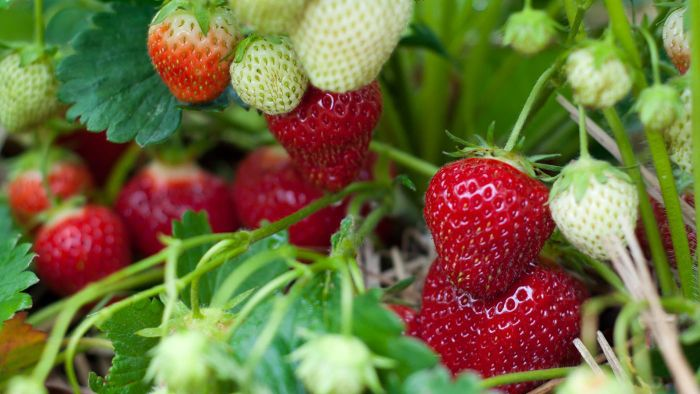 When Is the Strawberry Season in California?
