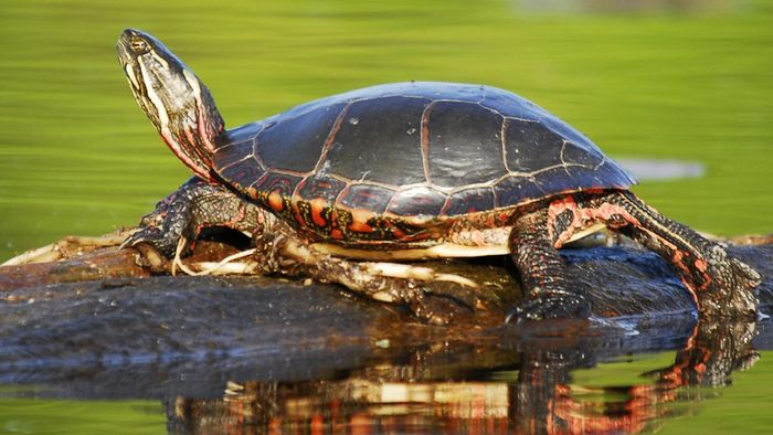 What Do Sun Turtles Eat?