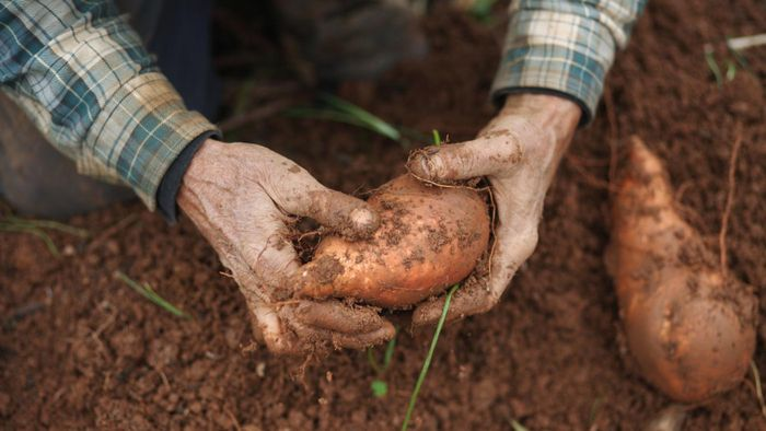 Are Sweet Potatoes a Carbohydrate?