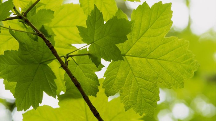 What Are Some Facts About Sycamore Trees?