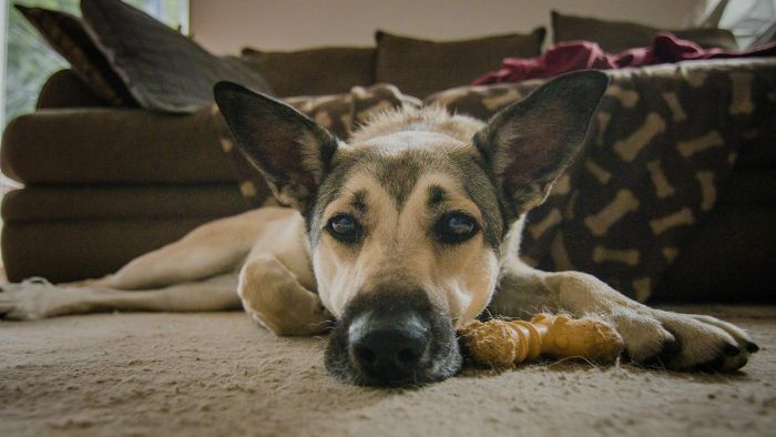 What Are the Symptoms of Lyme Disease in Dogs?