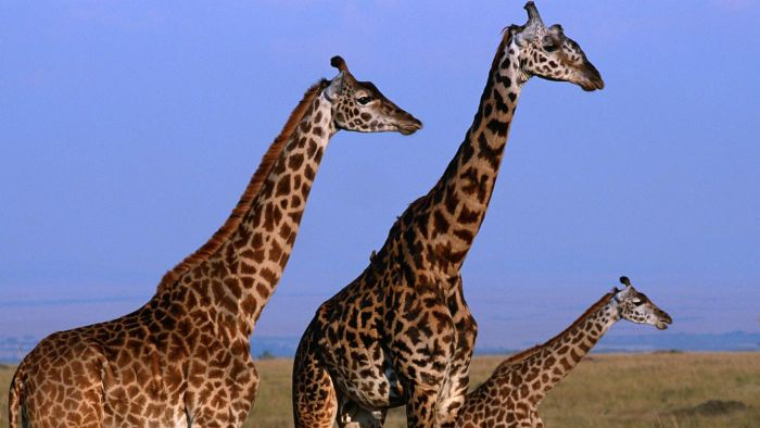 How Tall Can a Giraffe Grow?