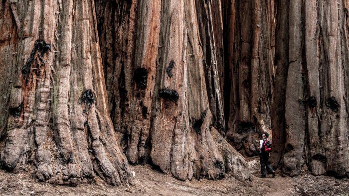 How Tall Is the Tallest Tree in the World?