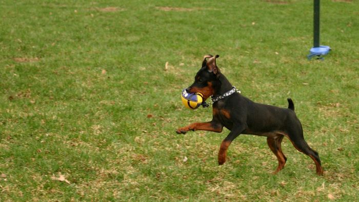 What Is a Teacup Miniature Pinscher?