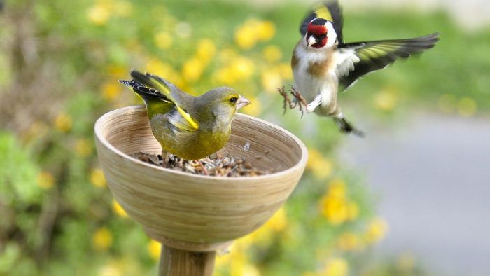 How Do You Tell a Female Finch From a Male Finch?