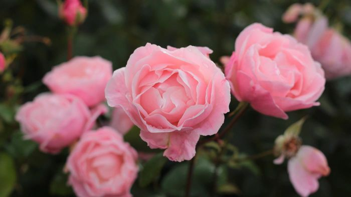 When Is the Best Time to Plant Roses?