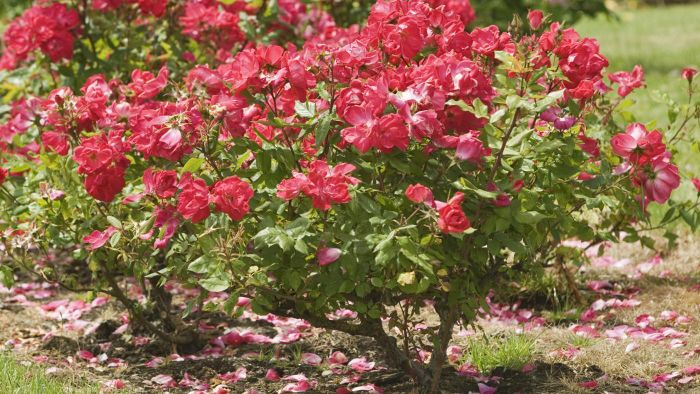 When Is the Best Time to Prune Knockout Roses?