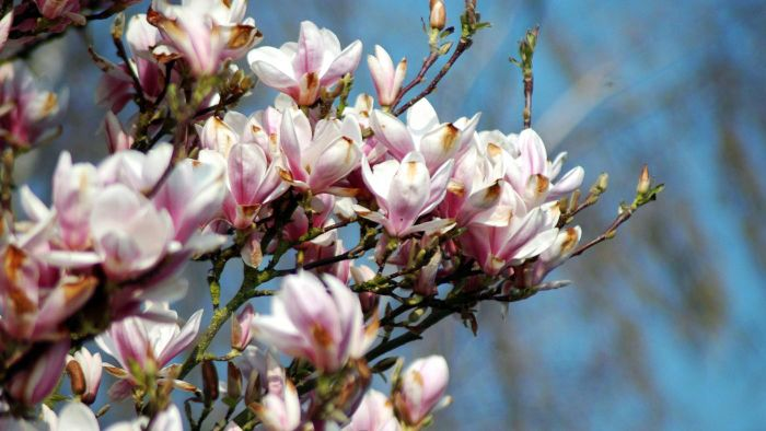 What time of year can you prune magnolia trees?