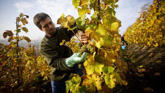 What time of year are grape vines normally pruned?