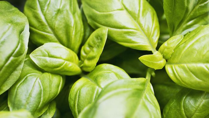 What Are Some Tips on Preserving Basil?