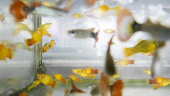 What Are Tips for Raising Guppies?