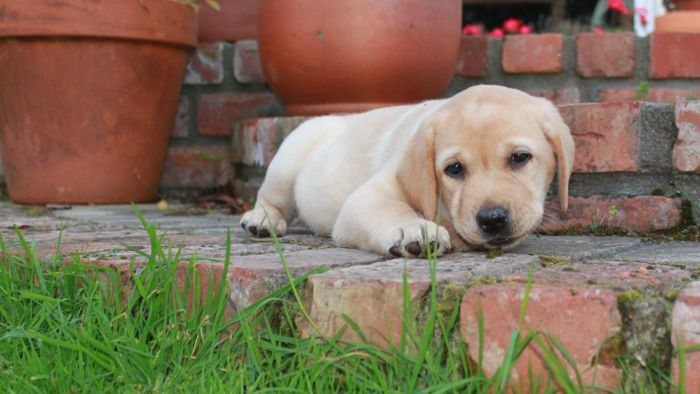 What Are Some Tips for Raising a Lab Puppy?