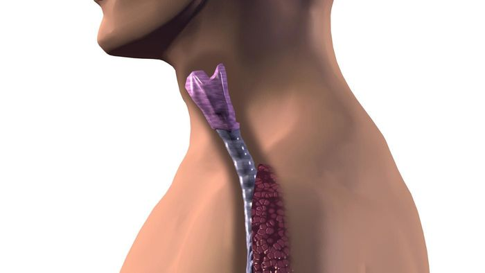 What Is the Trachea?