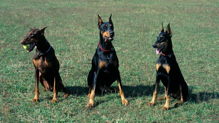 How Do You Train a Female Doberman?