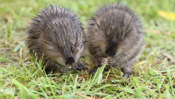 What Are the Traits of a Baby Muskrat?